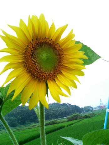 ひまわりの花.JPG