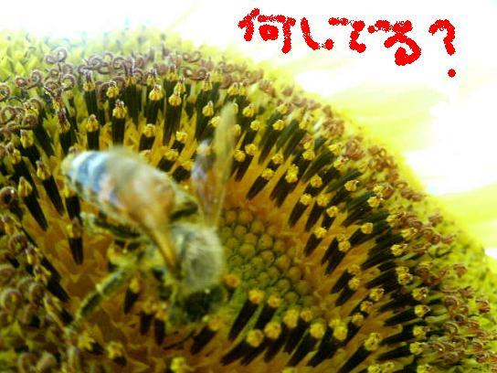 蜂蜜鳥.JPG